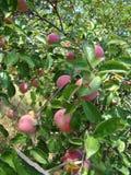 Apple-boom met rijpe appelen stock foto