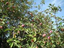 Apple-boom met rijpe appelen stock foto's