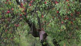 Apple-boom met rode appelen stock footage