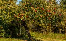 Apple-boom met rode appelen Stock Afbeeldingen