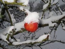 Apple-boom met sneeuw Stock Foto