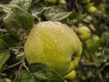 Apple-boom met vruchten Stock Fotografie