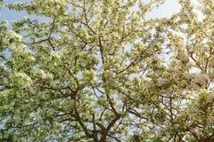 Apple-boom met witte bloemen wordt behandeld die Stock Foto's