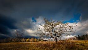 Apple-boom in oude appelboomgaard Stock Afbeeldingen