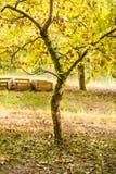 Apple-boom in oude boomgaard. Royalty-vrije Stock Foto's