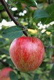 Apple-boom tak Royalty-vrije Stock Foto
