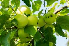 Apple-boom tegen de zon Royalty-vrije Stock Afbeelding