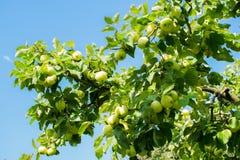 Apple-boom tegen de zon Stock Afbeelding