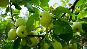 Apple-boom tegen de zon Stock Fotografie