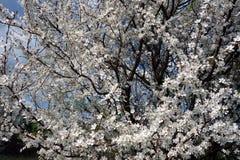 Apple-boom tijdens de lente Stock Fotografie