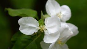 Apple-Boom tot bloei komende witte bloem die in Wind tijdens de lente, close-up blazen stock videobeelden