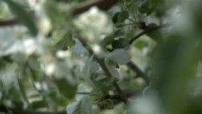 Apple-boom in video van de bloei de veranderende nadruk stock footage