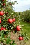 Apple-boom vlak vóór oogst Royalty-vrije Stock Afbeelding