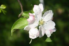 Apple-boom witte en rozeachtige bloemen De centrale bloem van de bloeiwijze wordt genoemd de koningsbloei stock fotografie