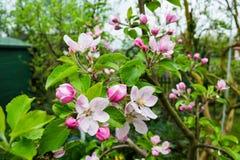 Apple-boombloei in de tuin Stock Foto's