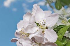 Apple-boombloem en hemel Stock Afbeeldingen