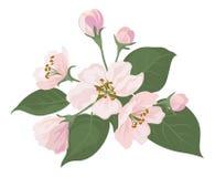 Apple-boombloemen en groene bladeren royalty-vrije illustratie
