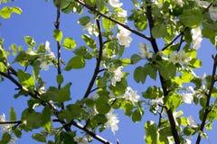 Apple-boombloemen en hemel Royalty-vrije Stock Afbeeldingen