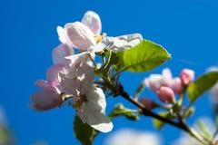 Apple-boombloemen tegen de blauwe hemelachtergrond Royalty-vrije Stock Afbeeldingen