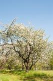 Apple-boombloesem in park De lente royalty-vrije stock afbeeldingen