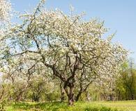 Apple-boombloesem in park De lente royalty-vrije stock foto