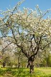 Apple-boombloesem in park De lente royalty-vrije stock fotografie