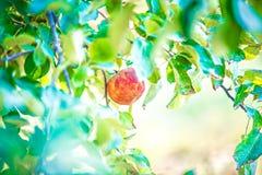 Apple-boomboomgaard vóór oogst royalty-vrije stock foto's