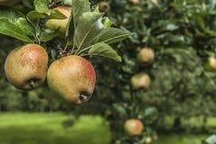 Apple-Boomgaard stock afbeeldingen