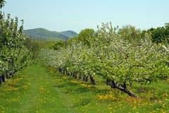 Apple-boomgaard in de Lente Stock Fotografie