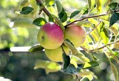 Apple-Boomgaard in de ochtend Stock Foto