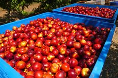 Apple-boomgaarden Stock Foto