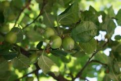 Apple-boomgaarden Royalty-vrije Stock Fotografie