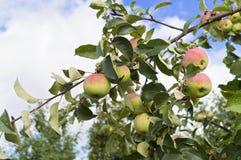 Apple-boomtak in de tuin Royalty-vrije Stock Afbeelding