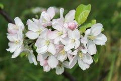 Apple-boomtak met witte bloemen in de lente Stock Foto's