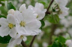 Apple-boomtakken die met witte bloemen worden behandeld stock afbeelding
