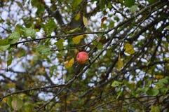 Apple-boomtakken met bladeren en appel Royalty-vrije Stock Foto