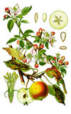 Apple botanico Immagini Stock