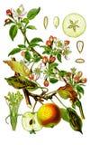 Apple botanisch Stockbilder