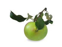 Apple on a branch Stock Photography