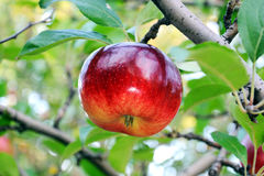 Apple on a branch. The red apple on a branch Stock Images