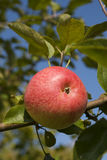 Apple on a branch. The red ripe apple hangs on a branch Royalty Free Stock Photo