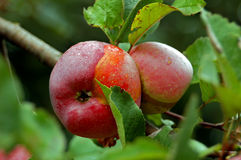 Apple on the branch. In the garden Royalty Free Stock Photography
