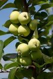Apple Branch Stock Photo
