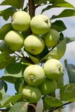 Apple Branch Stock Images