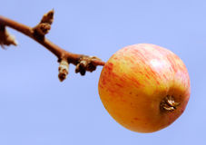Apple branch Royalty Free Stock Photo