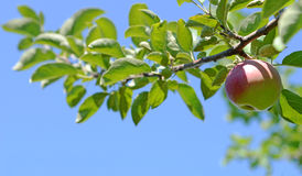 Apple Branch. Image of an apple on a branch Stock Photo