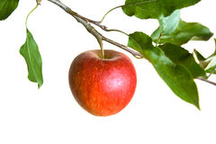 Apple on a branch. Isolated on a white background Stock Photos