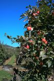 Apple branch Royalty Free Stock Photos