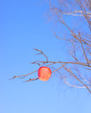 Apple on a branch. The Image of a red apple against the blue sky Royalty Free Stock Photography