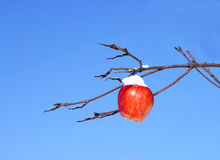 Apple on a branch. The Image of a red apple against the blue sky Stock Images